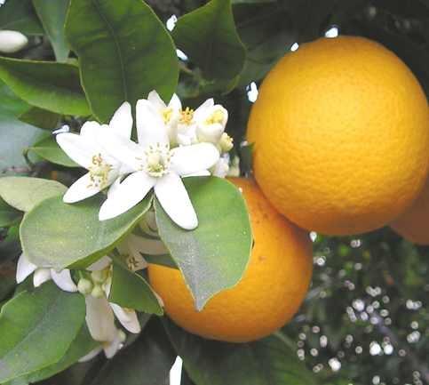 قیمت روز مرکبات انار . پرتقال . نارنگی