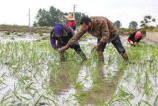 ⭕کشت برنج، فقط در 2 استان شمالی کشور مجاز است