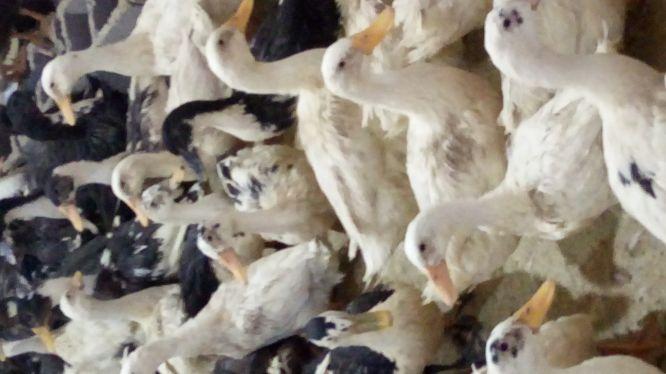فروش اردک نژاد پکینی بصورت یکجا و تعداد